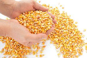 maïszetmeel-vervanger-kwik-goudwinning